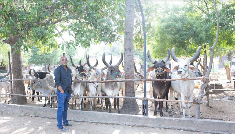 puf founder with cow